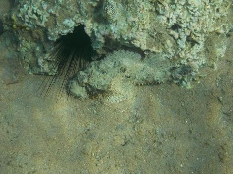 False stonefish_ tassled scorpionfish