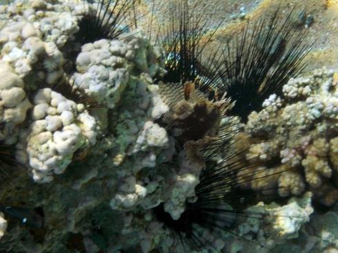 Skorpionikala ui