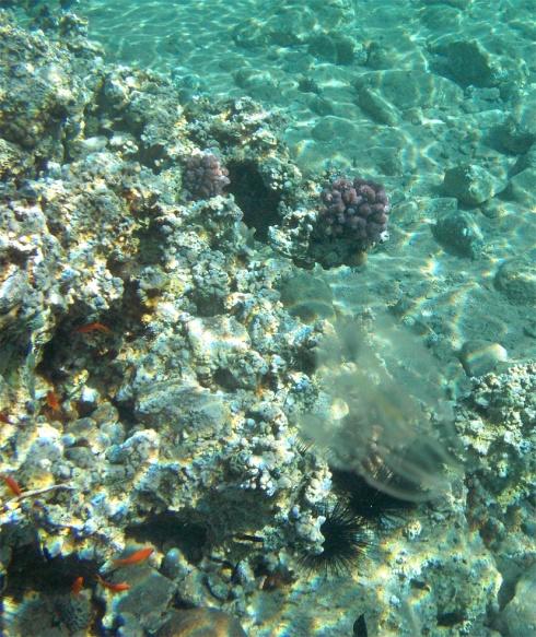 Stinging jellyfish Red Sea Jordan