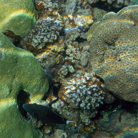 Sufflamen chrysopterus_flagtail triggerfish_Ruostesäppikala ja siipisimppu