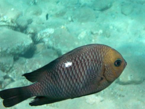 Domino fish_Dascyllus trimaculatus_Täpläpreussinahven