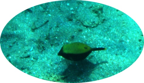 Ostracion Cyanurus_Arabian boxfish_2 copy