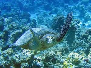 sea turtle at Japanese Garden Aqaba
