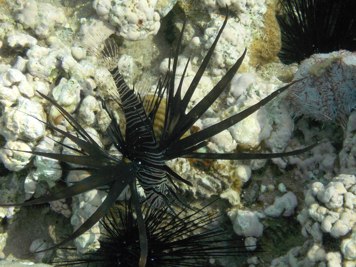 Black Peacock Lionfish and black sea urchin