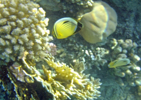 Chaetodon austriacus_The Blacktail Butterfly fish