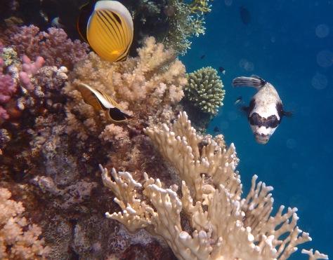 PG2014_masked pufferfish
