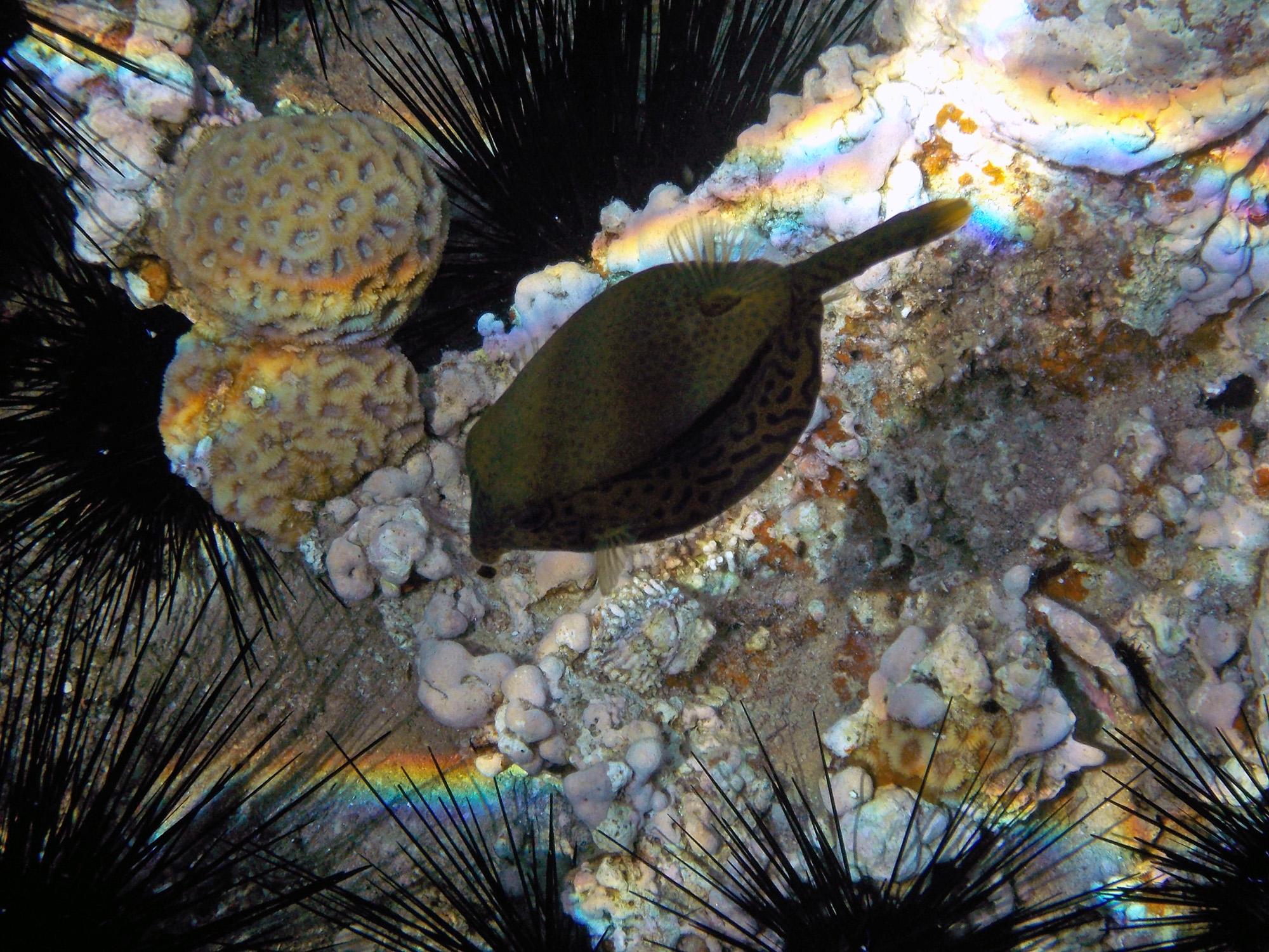 Arabian boxfish_Jordania
