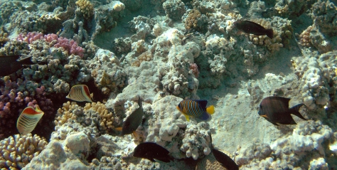 Regal Angelfish with friends_PG_2014