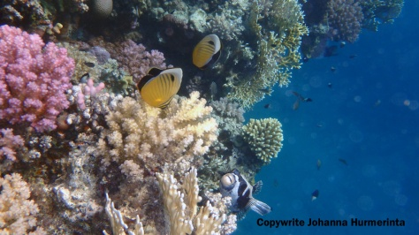 The masked Pufferfish with the Exquisite Butterflyfish