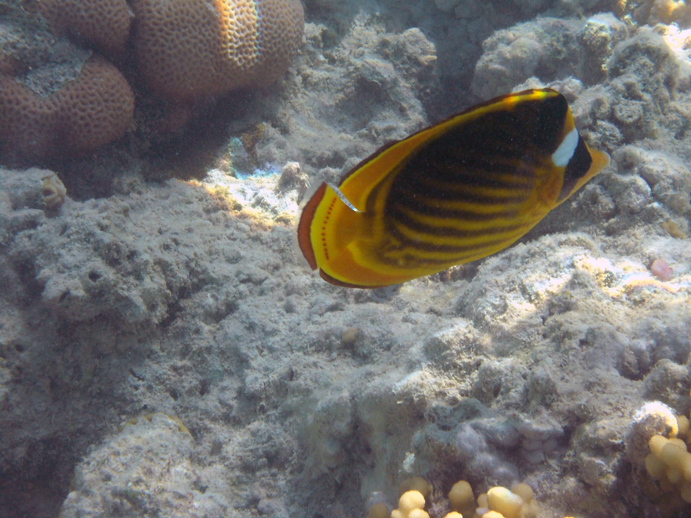 Raccoon Butterflyfish 2014 PG_3