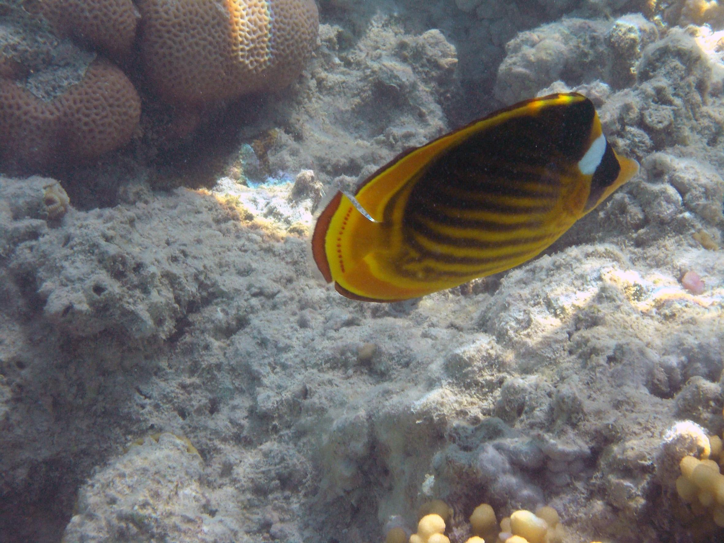Raccoon Butterflyfish 2014 PG_3