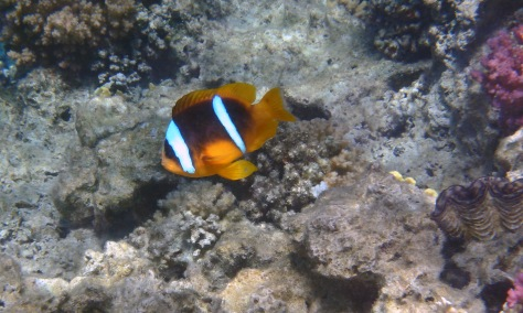 Clownfish Anemonefish II
