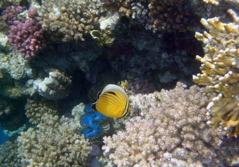 PG 2015 Exquisite Butterflyfish I