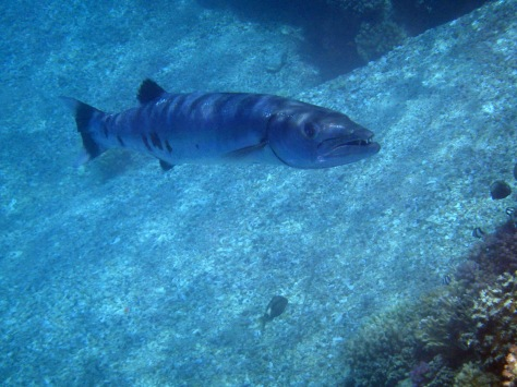 Barracuda in the Red Sea_1