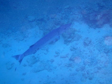Barracuda in the Red Sea_4
