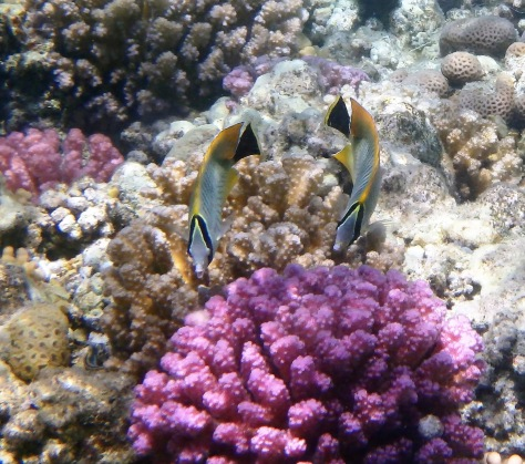 Chevron Butterflyfish couple closeup