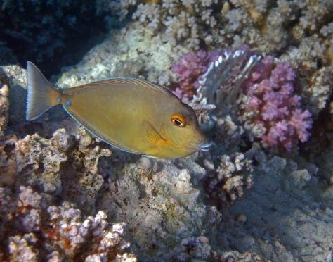 Juvenile Bluespine Unicornfish