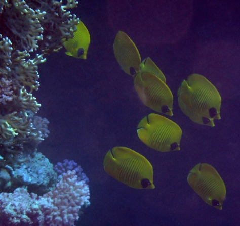 Masked Butterflyfish in the darkness.jpg
