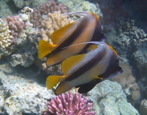 Red Sea Bannerfish_Heniochus intermedius.jpg