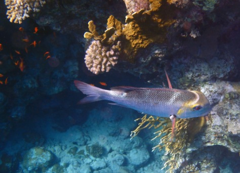 Redd Sea Big Eye Emperor