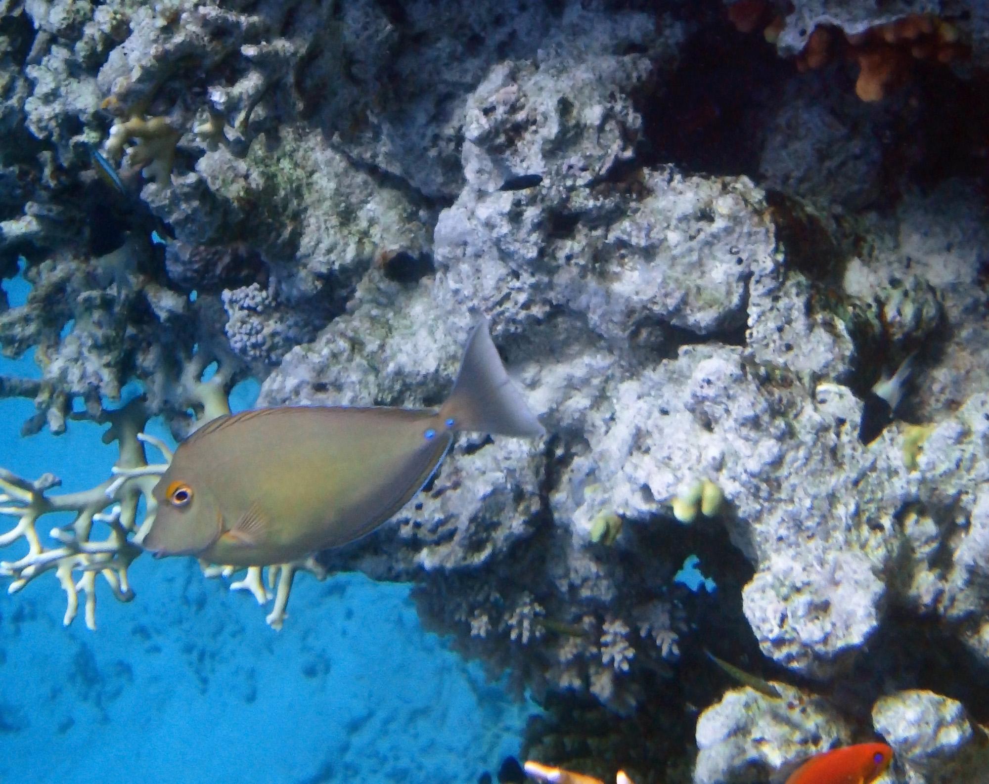 Bluspine Unicornfish