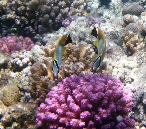 Chevron Butterflyfish couple closeup