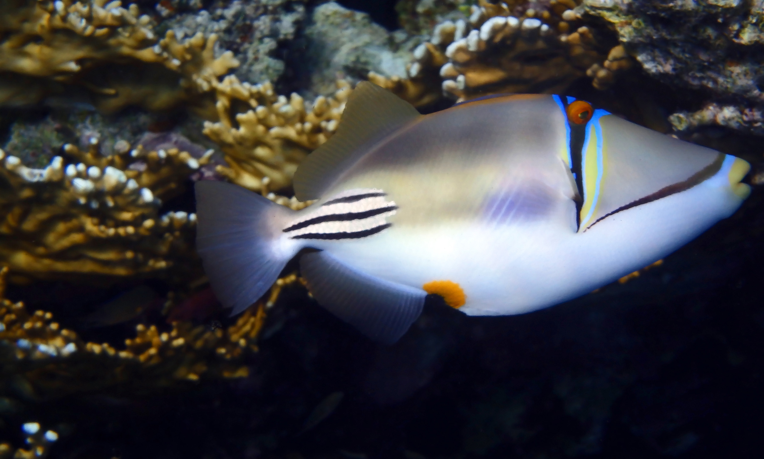 Red Sea Picasso Fish