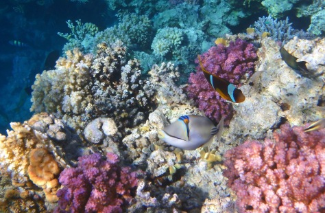 Picassofish Anemonefish and Raspberry Corals