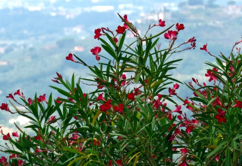 Red Flowers In Tuscany.jpg