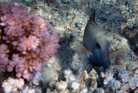 Brown Surgeonfish Acanthurus Nigrofuscus