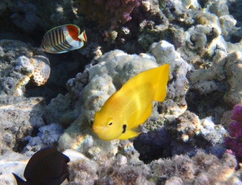 Sulphur Damselfish and Crown Butterflyfish
