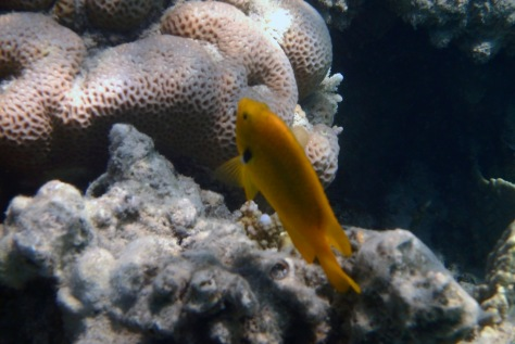 Sulphur Damselfish Red Sea