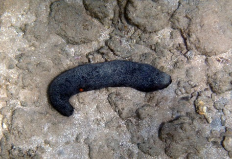 Black Sea Cucumber
