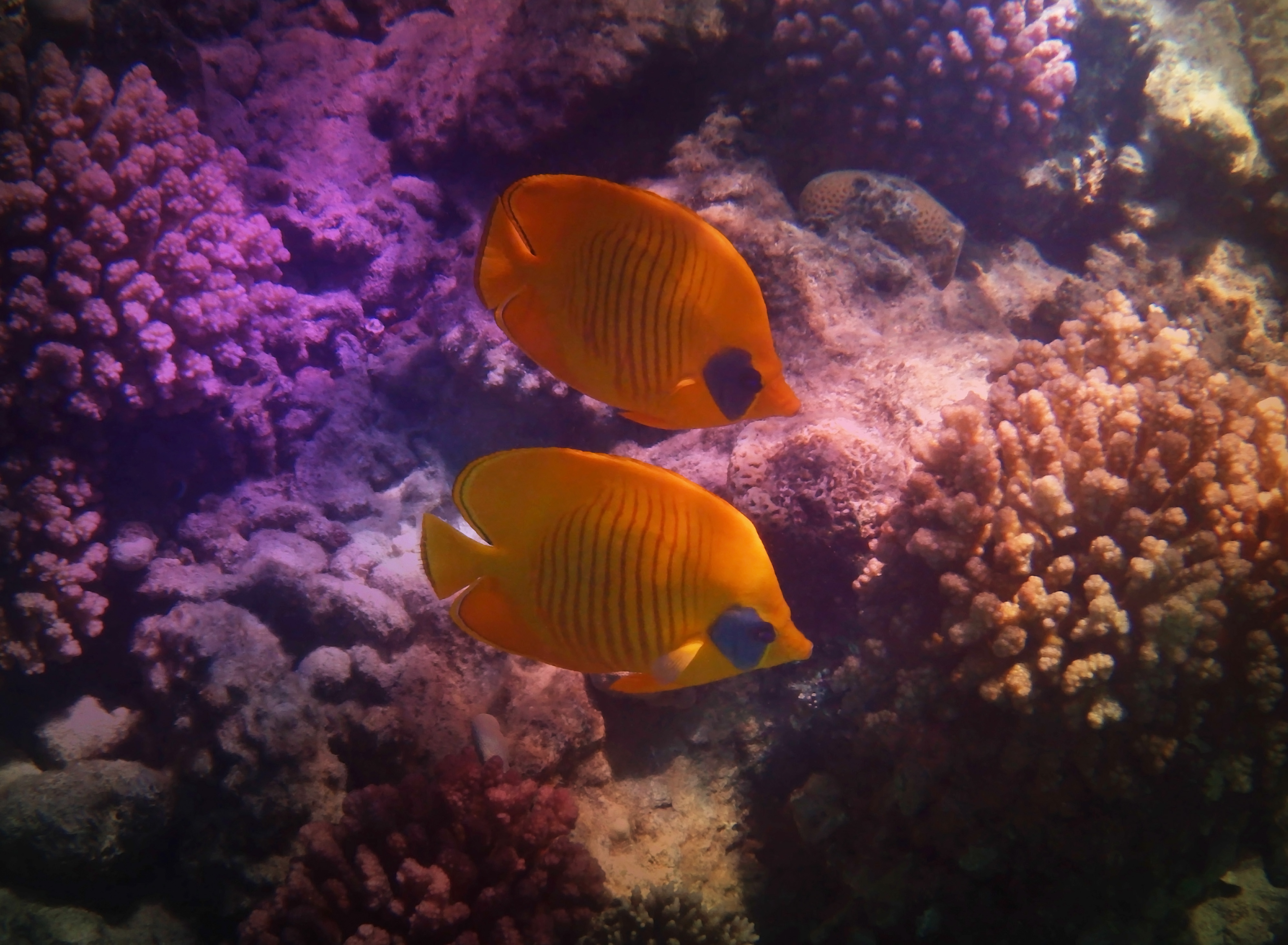 Masked Butterflyfish The Creative Way