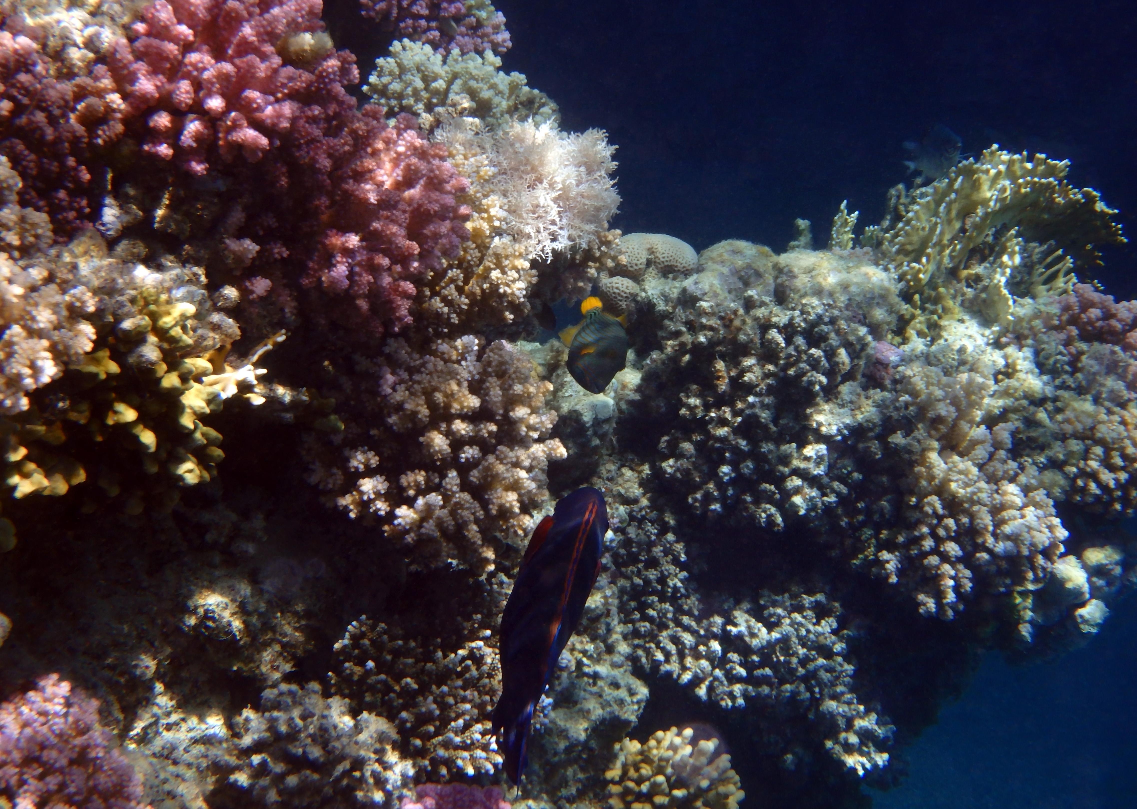 Triggerfish Meets Parrotfish