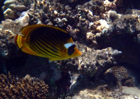 The Red Sea Raccoon Butterflyfish.jpg