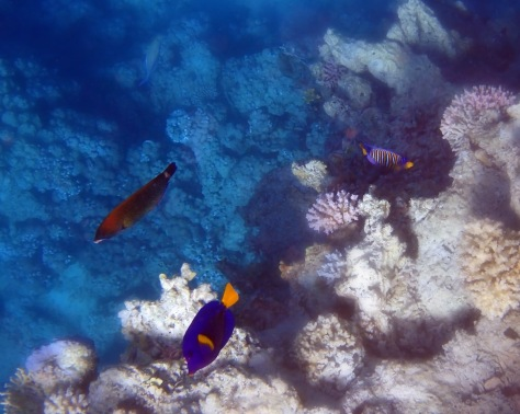 Red Sea Is Full Of Angelfish Tang and Parrotfish.jpg