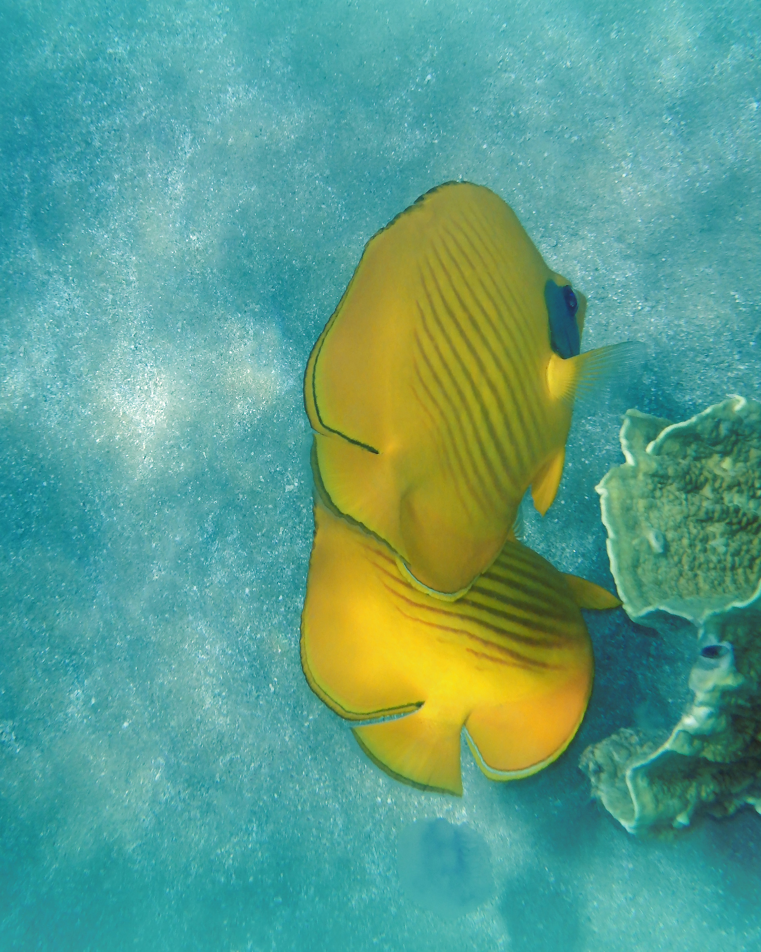 The Bluecheeked Butterflyfish On Turquoise.jpg