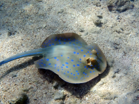 Blue Spotted Stingray In The Red Sea