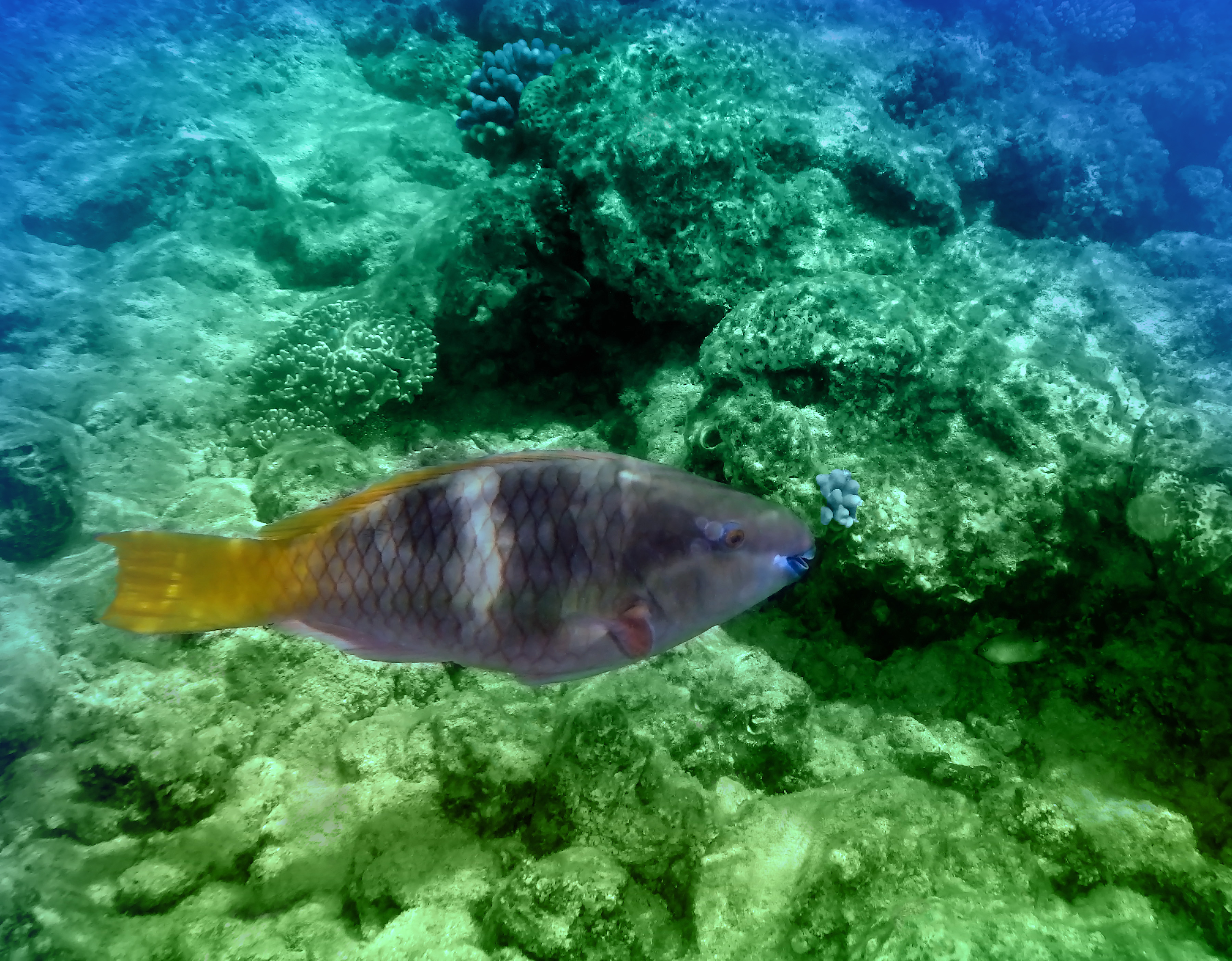 Red Sea Parrotfish Colorfully